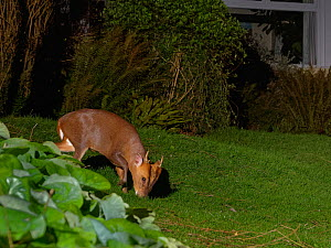 Reeve's muntjac deer / Barking deer (Muntiacus reevesi) buck grazing a garden lawn at night close to a house, Wiltshire, UK, March.  Taken by a remote DSLR camera trap.  -  Nick Upton