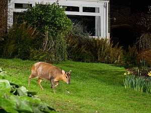 Reeve's muntjac deer / Barking deer (Muntiacus reevesi) doe crossing a garden lawn at night close to a house, Wiltshire, UK, March.  Taken by a remote DSLR camera trap.  -  Nick Upton
