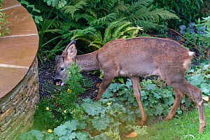 Young Roe deer (Capreolus capreolus) buck browsing Potentilla flowers and leaves in a flowerbed, Wiltshire garden, UK, October.  -  Nick Upton