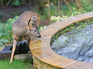 Young Roe deer (Capreolus capreolus) buck with developing horns in velvet approaching a garden pond, Wiltshire garden, UK, February.  -  Nick Upton