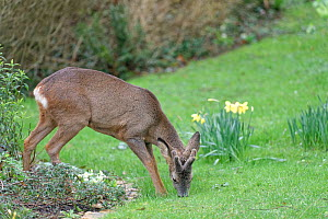 Roe deer (Capreolus capreolus) buck with developing horns in velvet standing partly on a flowerbed as it grazes grass on a lawn near flowering Daffodils, Wiltshire garden, UK, February.  -  Nick Upton