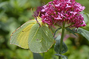 Canary Islands Brimstone (Gonepteryx cleobule) a species endemic to highland parts of the Canaries nectaring on Red valerian (Centranthus ruber) flowers on a garden wall, Chamorga, Anaga Rural Park, T...  -  Nick Upton
