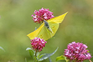 Canary Islands Brimstone (Gonepteryx cleobule) species endemic to highland parts of the Canaries, taking off from Red valerian (Centranthus ruber) flowers Chamorga, Anaga Rural Park, Tenerife, August...  -  Nick Upton