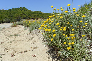 Eternal / Everlasting flower (Helichrysum stoechas) clumps flowering on sand dunes behind a beach, near Arta, Majorca east coast, May.  -  Nick Upton