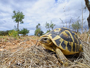 Hermann's tortoise (Testudo hermanni) in a farmland habitat bordering Mondrago Natural Park where they have been reintroduced this century, Santanyi, Majorca, May.  -  Nick Upton