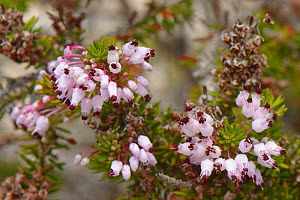 Mediterranean heather (Erica multiflora) flowering on limestone cliff tops, Majorca south coast, May.  -  Nick Upton
