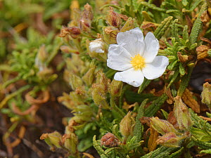 Montpellier rockrose (Cistus monspeliensis) flowering on limestone cliff tops, Majorca south coast, May.  -  Nick Upton