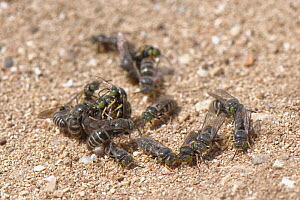 Sand wasp (Bembix oculata) mating ball with several males clustered around emerging females on a sandy coastal path, Majorca south coast, May.  -  Nick Upton