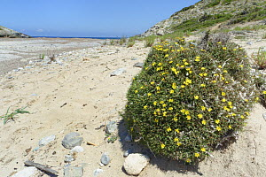 Socarrell (Launaea cervicornis) a spiny plant growing in cushion shaped clumps endemic to Majorca and Menorca, flowering on sand dunes behind a beach, near Arta, Majorca east coast, May.  -  Nick Upton
