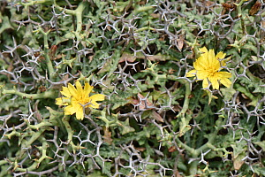 Socarrell (Launaea cervicornis) a spiny plant growing in cushion shaped clumps endemic to Majorca and Menorca, flowering on limestone cliff tops, Majorca south coast, May.  -  Nick Upton
