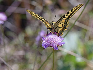 European swallowtail butterfly (Papilio machaon) nectaring on a Sea pincushion flower (Scabiosa maritima, Mondrago Natural Park, Majorca south coast, May.  -  Nick Upton