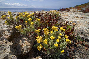 Eternal / Everlasting flower (Helichrysum stoechas) clump flowering on limestone cliff tops, Majorca south coast, May.  -  Nick Upton