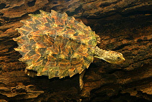 White-throated snapping turtle (Elseya albagula) juvenile, Fitzroy River tributary, Queensland, Australia  -  Lochman Agency