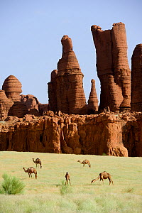 Eroded sandstone rock formations with Dromedary camels (Camelus dromedarius) grazing on new grass after desert rains. Ennedi Natural And Cultural Reserve, UNESCO World Heritage Site, Chad. September 2...  -  Enrique Lopez-Tapia