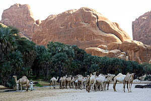Dromedary camels (Camelus dromedarius) in a gorge with water and trees on the Ennedi plateau. Ennedi Natural and Cultural Reserve, UNESCO World Heritage Site, Chad. September 2019.  -  Enrique Lopez-Tapia