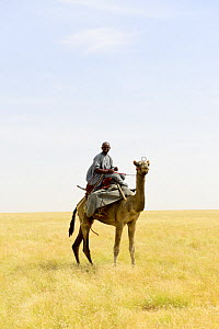Nomad from the Goran ethnic group mounted on aDromedary camels (Camelus dromedarius) Northern Chad. September 2019.  -  Enrique Lopez-Tapia