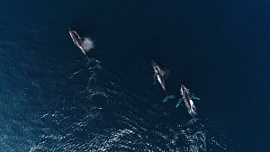 Aerial shot of a male Humpback whale (Megaptera novaeangliae) escorting a female (middle), with another male trying to get access, Baja California, Mexico.  -  Mark Carwardine