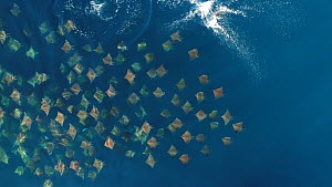 Aerial shot zooming out from a school of Munk's devil rays (Mobula munkiana), with individuals leaping, Sea of Cortez, Baja California, Mexico.  -  Mark Carwardine