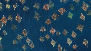 Aerial shot of a school of Munk's devil rays (Mobula munkiana), Sea of Cortez, Baja California, Mexico.  -  Mark Carwardine