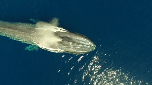 Aerial shot of a Blue whale (Balaenoptera musculus) surfacing and blowing, Sea of Cortez, Baja California, Mexico.  -  Mark Carwardine
