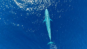 Aerial shot of a Blue whale (Balaenoptera musculus) surfacing and blowing, Baja California, Mexico.  -  Mark Carwardine
