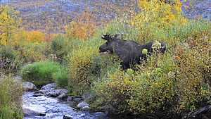 Eurasian elk (Alces alces) feeding on Willow (Salix), Sarek National Park, Sweden, September.  -  Erlend Haarberg