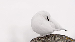 Male Rock ptarmigan (Lagopus muta) grooming, Sarek National Park, Sweden, April.  -  Erlend Haarberg