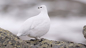 Female Rock ptarmigan (Lagopus muta) calling, Sarek National Park, Sweden, April.  -  Erlend Haarberg