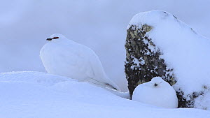 Pair of Rock ptarmigans (Lagopus muta) resting, Sarek National Park, Sweden, April.  -  Erlend Haarberg