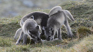 Arctic fox (Vulpes lagopus) pups play fighting, playing with a reindeer leg, Dovrefjell-Sunndalsfjella National Park, Norway, July.  -  Erlend Haarberg