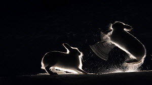 Mountain hares (Lepus timidus) fighting in snow at night, Vauldalen, Norway, April.  -  Erlend Haarberg