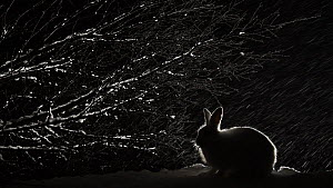 Mountain hare (Lepus timidus) feeding at night in the snow, Vauldalen, Norway, April.  -  Erlend Haarberg