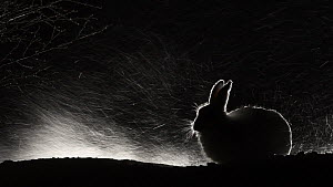 Mountain hare (Lepus timidus) sheltering during a snowstorm at night. Vauldalen, Norway, April.  -  Erlend Haarberg