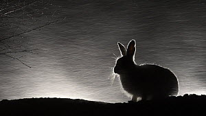 Mountain hare (Lepus timidus) feeding during a snowstorm at night, before running away, Vauldalen, Norway, April.  -  Erlend Haarberg