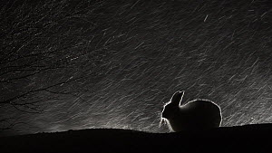 Mountain hare (Lepus timidus) sheltering and feeding during a snowstorm at night. Vauldalen, Norway, April.  -  Erlend Haarberg
