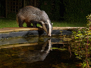 European badger (Meles meles) reflected in a garden pond as it drinks from it at night, Wiltshire, UK, June. Property released.  -  Nick Upton