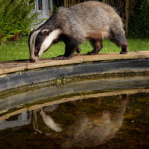 European badger (Meles meles) reflected in a garden pond it is visiting to drink at night, Wiltshire, UK, May. Property released.  -  Nick Upton