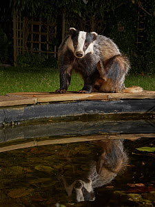 European badger (Meles meles) reflected as it scratches itself on the edge of a garden pond it is visiting to drink at night, Wiltshire, UK, June. Property released.  -  Nick Upton