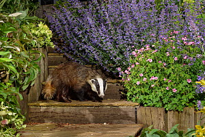 European badger (Meles meles) juvenile standing on garden steps at night, flanked by flowering Hellebores (Helleborus sp.), Catmint (Nepeta sp.) and Hardy geraniums (Geranium sp.), Wiltshire, UK, June...  -  Nick Upton