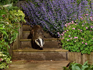 European badger (Meles meles) juvenile walking down some garden steps at night, flanked by flowering Hellebores (Helleborus sp.), Catmint (Nepeta sp.) and Hardy geraniums (Geranium sp.), Wiltshire, UK...  -  Nick Upton