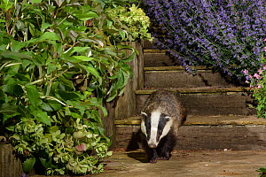 European badger (Meles meles) juvenile walking down some garden steps at night, flanked by flowering Helebores (Helleborus sp.) Catmint (Nepeta sp.) and Geraniums, Wiltshire, UK, June. Property releas...  -  Nick Upton