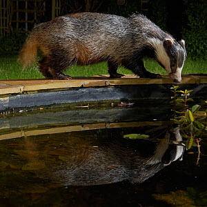 European badger (Meles meles) reflected in a garden pond it is visiting to drink from at night, Wiltshire, UK, June. Property released.  -  Nick Upton