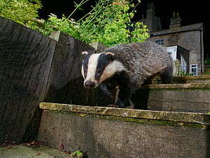 European badger (Meles meles) walking down garden steps at night, with house in background, Wiltshire, UK, June.  -  Nick Upton