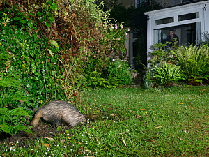 European badger (Meles meles) digging in a garden lawn at night, possibly to excavate a Bumblebee nest to feed on, with the homeowner watching in the background, Wiltshire, UK, June. Model and Propert...  -  Nick Upton