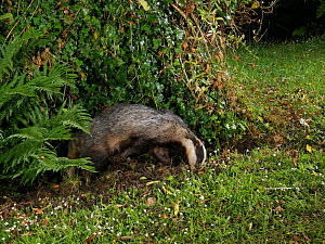 European badger (Meles meles) digging in a garden lawn at night, possibly to excavate a Bumblebee nest to feed on, Wiltshire, UK, June.  -  Nick Upton
