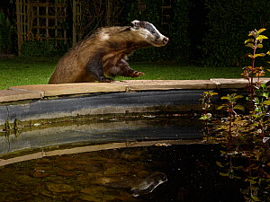European badger (Meles meles) reflected as it climbs up to the raised edge of a garden pond to drink from it at night, Wiltshire, UK, May. Property released.  -  Nick Upton