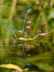 Azure damselfly (Coenagrion puella) pair in tandem as the female stands on a Spiked water milfoil (Myriophyllum spicatum) plant to lay her eggs in a garden pond, Wiltshire, UK, May.  -  Nick Upton