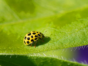 Twenty-two spot ladybird (Psyllobora vigintiduopunctata) walking on leaf in a Wiltshire garden, UK, April.  -  Nick Upton