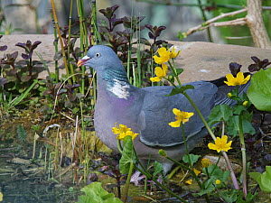 Wood pigeon (Columba palumbus) among King cup / Marsh marigold (Caltha palustris) flowers as it visits to drink from a garden pond, Wiltshire, UK, April.  -  Nick Upton