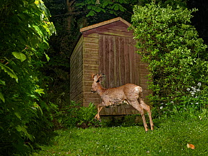 Roe deer (Capreolus capreolus) buck running past a garden shed at night, Wiltshire, UK, April. Property released.  -  Nick Upton
